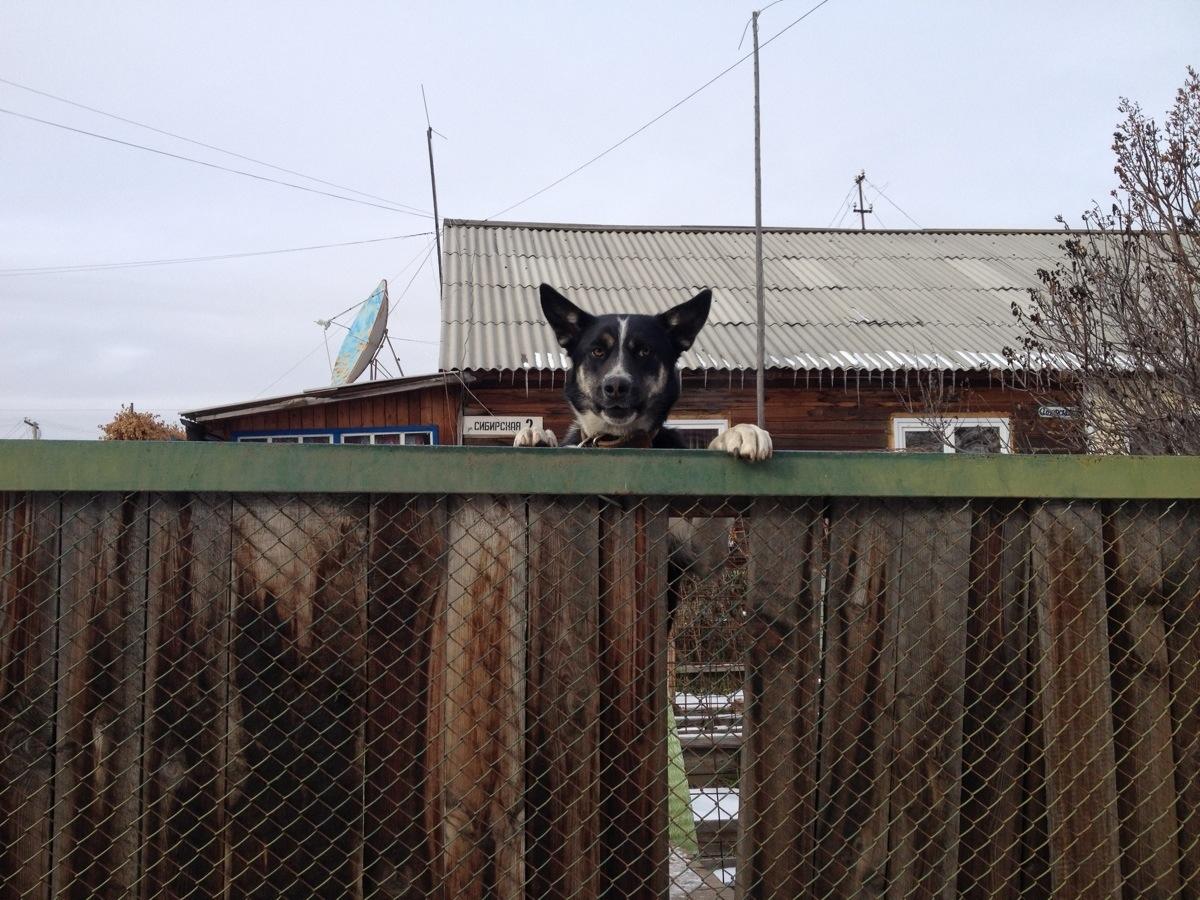 Hond in Severobaikalsk